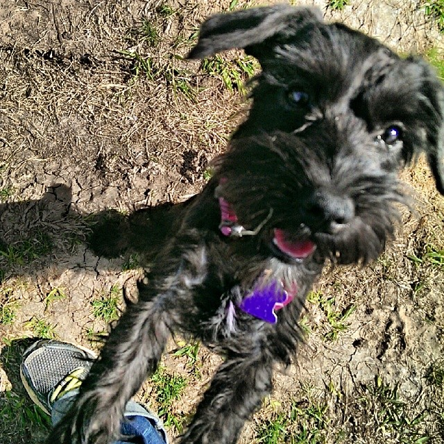 Fifi doesn't stay still enough for photos…. #austin #schnauzer #atxk9 #atx #puppy #puppiesofinstagram #pottytraining #pup #austinbusiness #smile–posted by atx_k9 on Instagram