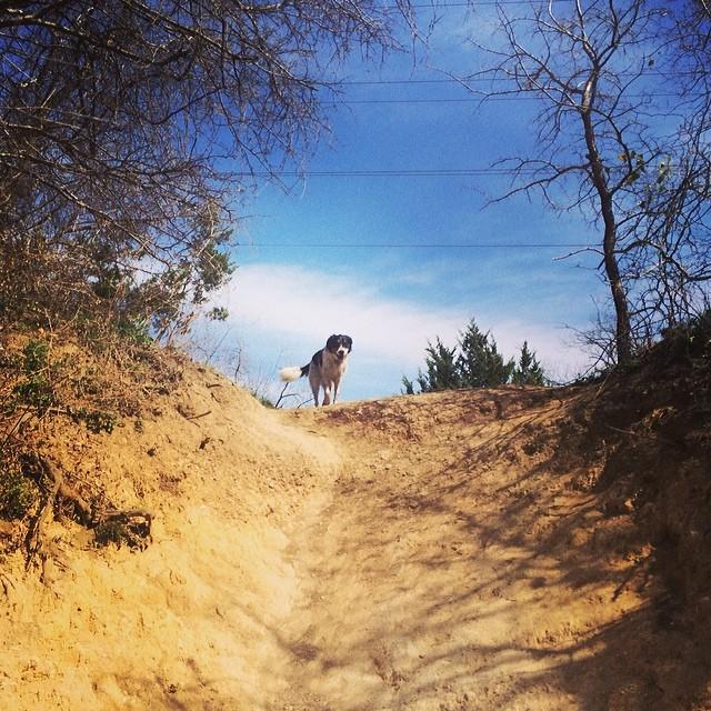 Chuy on the hill #thenakeddog #austin #hiking #boarding #training #atx #dogsofaustin #dogsofinstagram #aussie #austrailianshepherd–posted by thenakeddog on Instagram