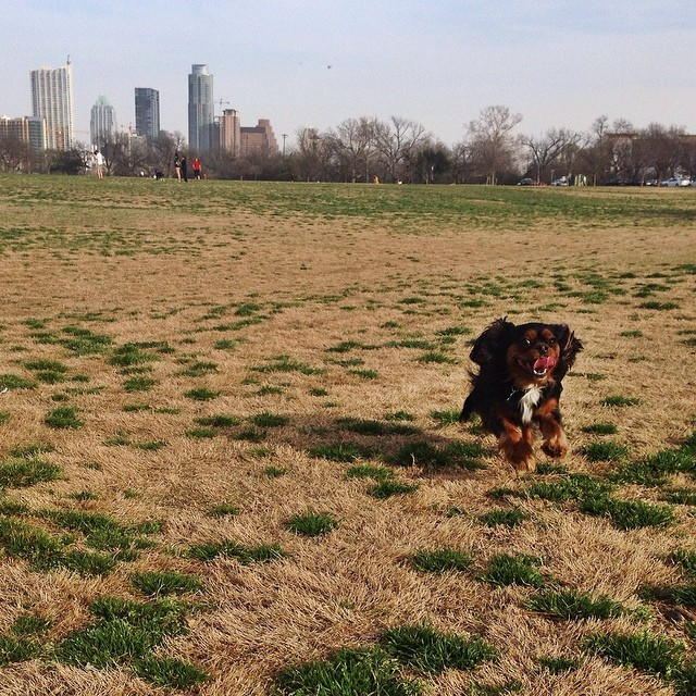 Pure joy!! #flyingpup #happydog #dogsofinstagram #cavlife #cavsofinstagram #ckcs #cavalier #cavalierkingcharles #kingcharles #dogs #atx #zilkerpark #happy #joy #pups #cavlove–posted by magnificentmuki on Instagram