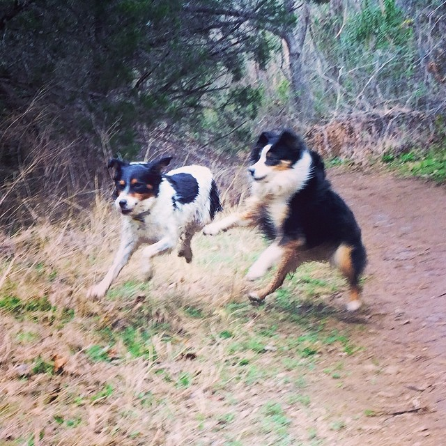 Aussie posse #thenakeddog #austin #hiking #boarding #training #atx #dogsofaustin #dogsofinstagram #aussie #austrailianshepherd–posted by thenakeddog on Instagram
