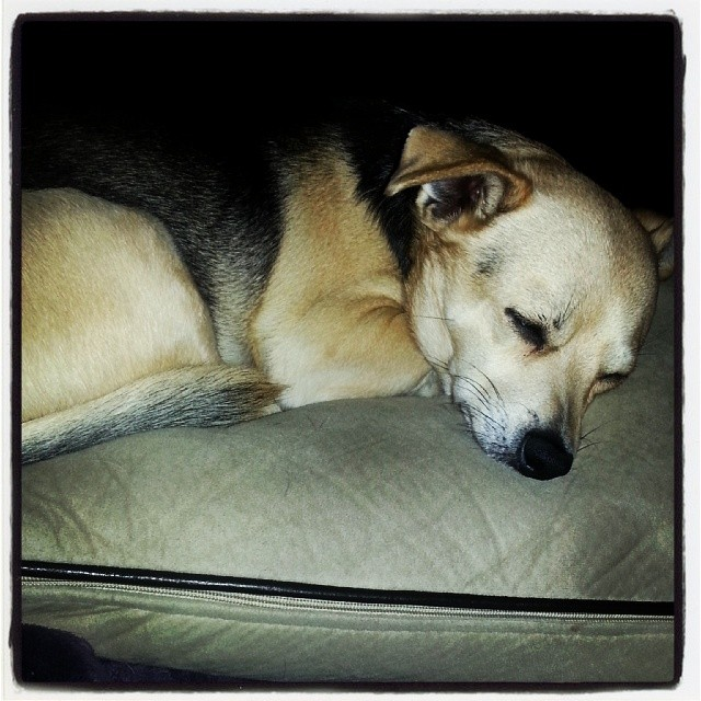 Sleepy baby!! #Chihuahua #chiple –posted by latweety23 on Instagram