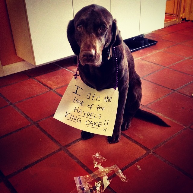 Which was a present for my boy's birthday and which my people had been rationing to make last. And which Junebug told me@was tasty, so really she should be wearing a sign too. #dogshaming #dogsofinstagram #haydels #kingcake #nothingleftbutalittledustingofgreensugaronthetile–posted by kimusey on Instagram