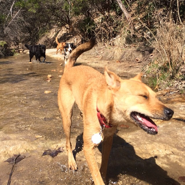 Fay geeking out on the trail #thenakeddog #austin #hiking #boarding #training #atx #dogsofaustin #dogsofinstagram–posted by thenakeddog on Instagram