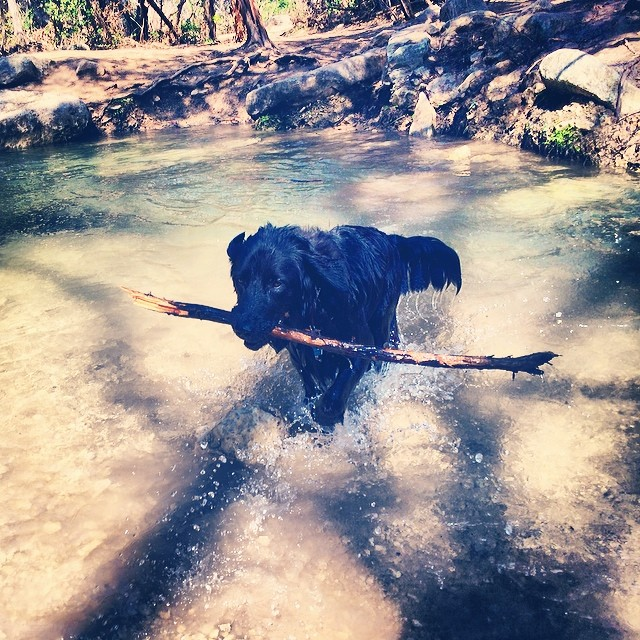 Audrey emerging from the creek #thenakeddog #austin #hiking #boarding #training #atx #dogsofaustin #dogsofinstagram–posted by thenakeddog on Instagram