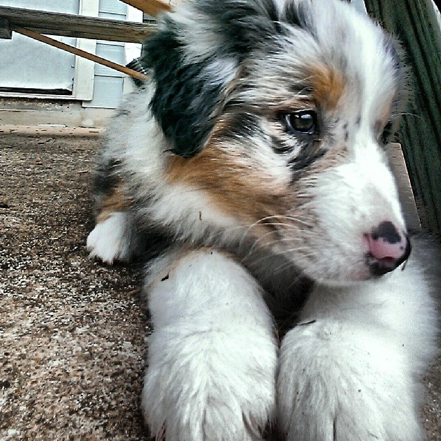 Can't get enough of this cute face :) #dogstagram #dogtraining #dogsofinstagram #futurerockstar #caninestein #notpottytrained #austin #atxk9 #atx #iflmdog #australianshepherd #aussie #awesomeaussie–posted by atx_k9 on Instagram