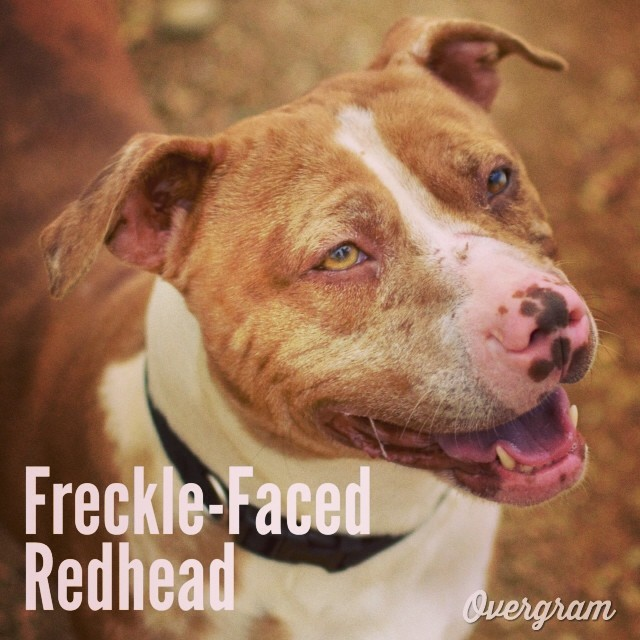 Bella is a canine #AnneofGreenGables with her #redhair, #freckles and sense of wonder 👩 Meet her at TLAC (1156 Cesar Chavez in #ATX) in kennel 8. #Overgram #instagood #photooftheday #pitties #mutts #muttsrule #adoptdontshop #austinanimalcenter #staffies #adoptme  #freckleface #redheads–posted by hardluckhoundsaustin on Instagram