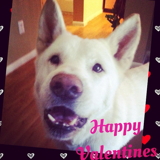 Happy Valentines from Jabba, the fluff! #atxdogs #valendogs #rufflife #formerpounddog–posted by geencee on Instagram