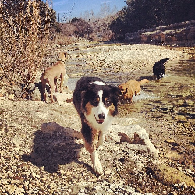 I love you like Cassie loves the camera #thenakeddog #austin #hiking #boarding #training #atx #dogsofaustin #dogsofinstagram #aussie #australianshepherd #weekendoflove #valendogs–posted by thenakeddog on Instagram