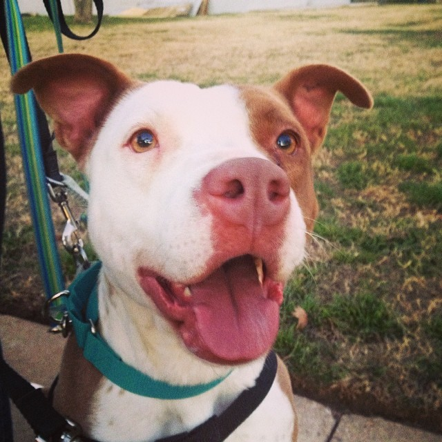 Good morning! Happy Friday & day of love from Jordan! Our newest adoptable is feeling braver everyday and had a great time exploring and making new friends on her walk last night! #jordan #adoptable #dog #austinanimalcenter #dogsoutloud #brave #lovely #pittie #goodgirl #courage #doingit #sweetface #happydog #valentine #upforadoption #atx #atxdogs #shelterdog #dogsofinstagram #pitsofinstagram #adopt #love–posted by dogsoutloud on Instagram