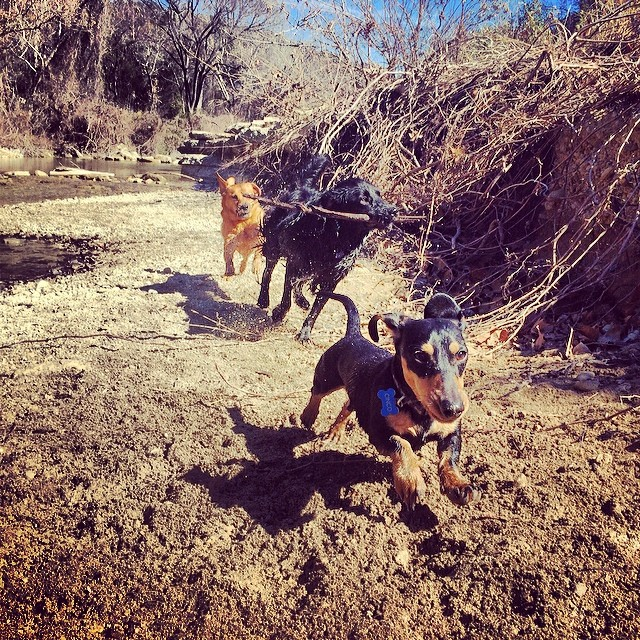 Sunny day pics 1 #thenakeddog #austin #hiking #boarding #training #atx #dogsofaustin #dogsofinstagram #dachshund–posted by thenakeddog on Instagram