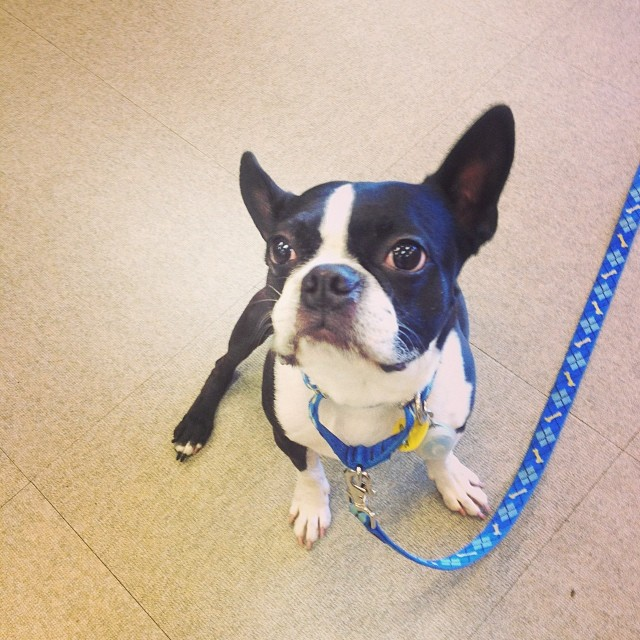 Eli the #boston #terrier #work #adorable #nugget–posted by pawticular on Instagram