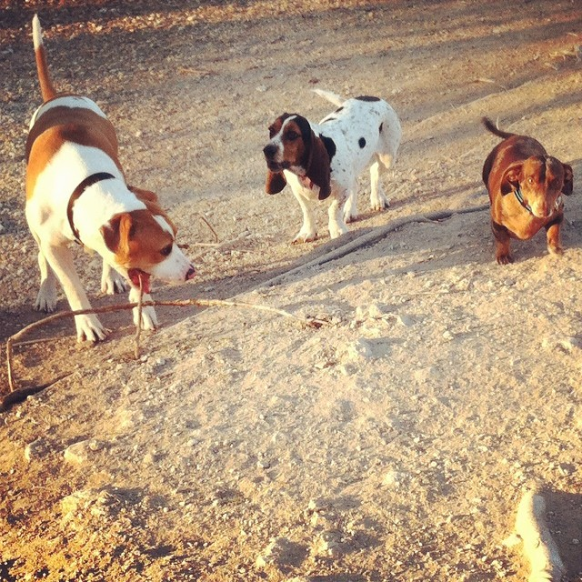 Dog park pals #bassethound #dachshund–posted by karensinaustin on Instagram