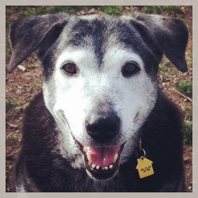 Holly #homeagain #seniordogs #lab–posted by karensinaustin on Instagram