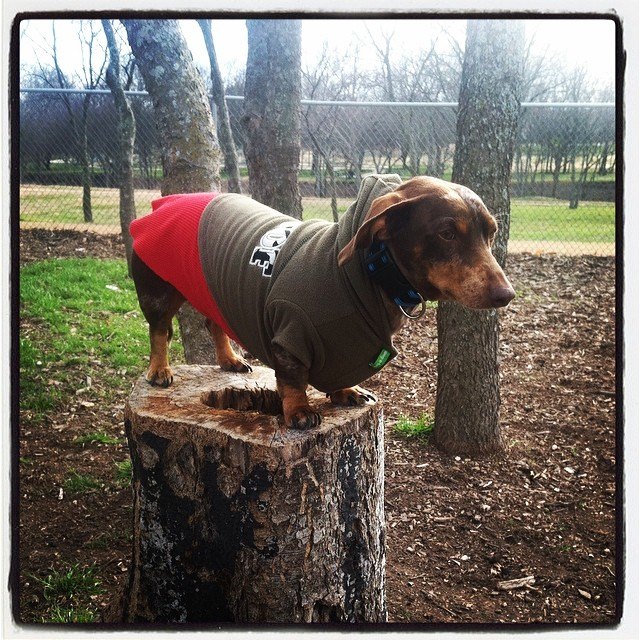 Dachshund on a tree stump #reesie #dachshund #dapple #dogsofinstagram–posted by karensinaustin on Instagram