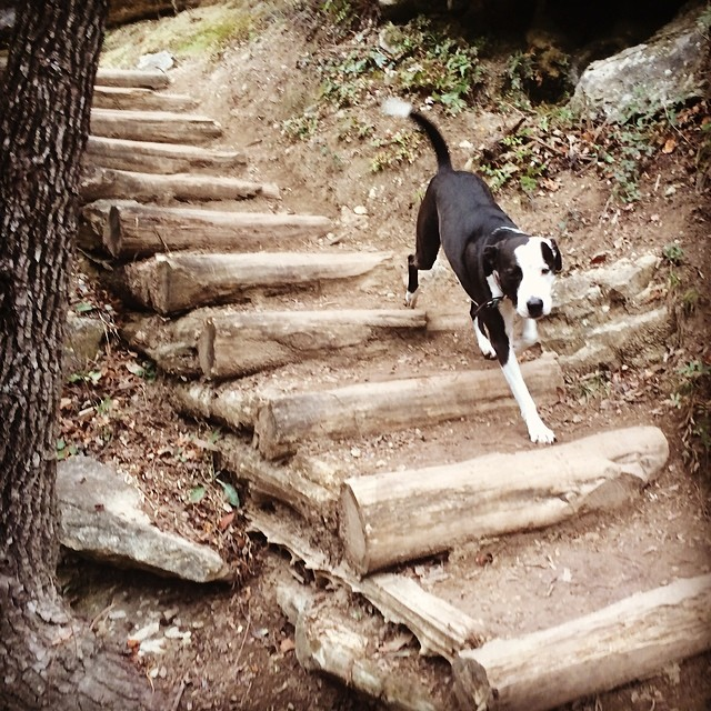 Zizzle running the stairs #thenakeddog #austin #hiking #boarding #training #atx #dogsofaustin #dogsofinstagram–posted by thenakeddog on Instagram