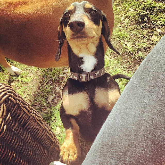 I, Cinco, hereby proclaim that all laps should have a dachshund on them. And so shall it be! #thenakeddog #austin #hiking #boarding #training #atx #d#dogsofaustin #dogsofinstagram #dachshund #doxie–posted by thenakeddog on Instagram