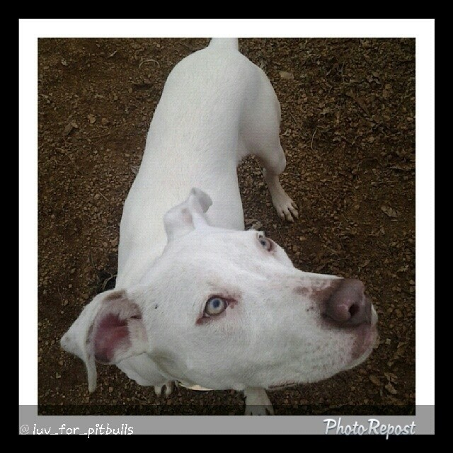 "By @luv_for_pitbulls ""Meet 8 month old beauty Faye. She came in as a stray, with no knowledge of what a leash is all about. She has incredible focus though, and is a fast learner. A perfect girl to take to obedience training and help her achieve her CGC certificate! #stunning #justababy #stopbreeding #startsaving #upforadoption #savealife #saveashelterdog #flopdontcrop #dontshopadopt #adoptdontshop #foster #volunteer #rescue #whitedogsofinstagram #dogs #apbt. #atx Town Lake Animal Center 1156 W. Cesar Chavez #austin #texas"" via @PhotoRepost_app–posted by helpingshelterdogs on Instagram"