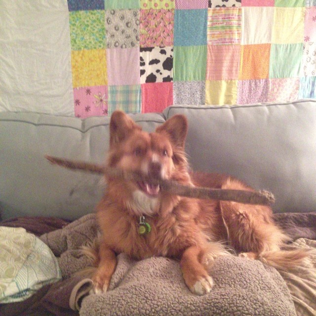 Hey!  I have a really awesome stick! #cute #highriseliving #whosehouseisthis #nugget #dog–posted by pawticular on Instagram