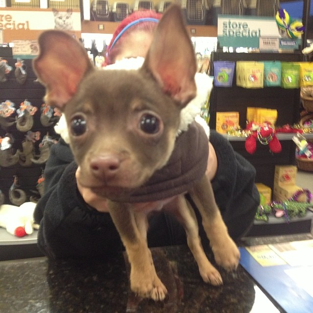 Meet Flynn. #teacupchihuahua #cute–posted by pawticular on Instagram