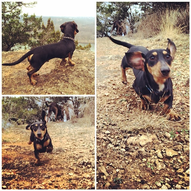 Cinco, super #dachshund back in the pack #thenakeddog #austin #hiking #boarding #training #atx #dogsofaustin #dogsofinstagram–posted by thenakeddog on Instagram