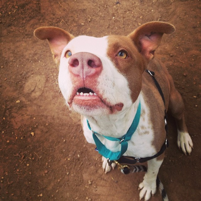 Meet our newest adoptable, sweet, shy Jordan! She is waiting for you in kennel 312 at @austinanimalcenter! Who can resist that face? #jordan #adoptable #dog #austinanimalcenter #dogsoutloud #pittie #staffie #sweetness #shy #prettygirl #upforadoption #atx #atxdogs #dogsofinstagram #pitsofinstagram #goodgirl #teef–posted by dogsoutloud on Instagram