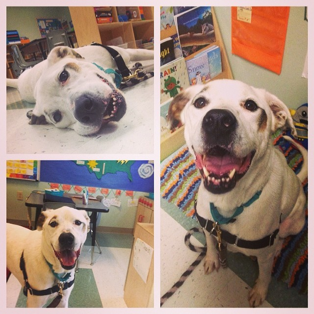Finnegan took some time out of his busy Snowless Day schedule to help around the classroom. #finnegan #adoptable #professordog #austinanimalcenter #dogsoutloud–posted by amesfitzy on Instagram