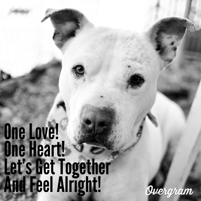 Hank heard today is #BobMarley's birthday. In honor of this, he thinks you should adopt him. He promises to provide lots of cuddles❤️ #Overgram #instagood #photooftheday #igers #picoftheday #staffies #instagramhub #onelove #muttsrule #whitedogs #rescuedogs #dogsofig #flopdontcrop #tlac #austinanimalcenter #dogmemes #loveabull–posted by hardluckhoundsaustin on Instagram