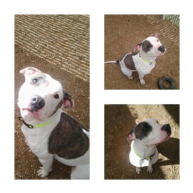 Meet Kaya, 1 year old, adoreable adopt-a-bull! Clearly overwhelmed by the shelter setting, sweet little nugget. #upforadoption #endbsl #stopbreeding #startsaving #saveashelterdog #savealife #bslsucks #dontshopadopt #adoptdontshop #nokill #rescuedismyfavoritebreed #kindnessmatters #atx #austin #dogsofinstagram #muttsofinstagram Town Lake Animal Center 1156 W. Cesar Chavez #austin #texas–posted by luv_for_pitbulls on Instagram