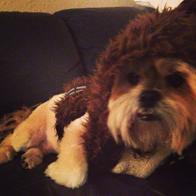 #Chewbacca Rosie Wants to Marry @thebobskywalker #starwarsdog #dogsofinstagram #lhasaapso #wookienoise–posted by tararizing26 on Instagram
