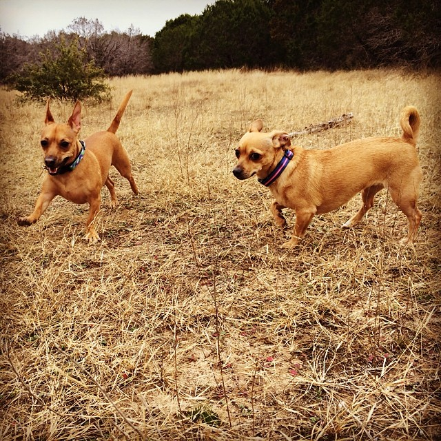 Littlest hikers #thenakeddog #austin #hiking #boarding #training #atx #dogsofaustin #dogsofinstagram–posted by thenakeddog on Instagram