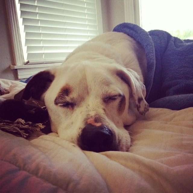 Finny knows you're watching the important ball throwing on tv but wants to tell you he had a big day too!  He got a bath this morning and spent some time dreaming of a home.    See, he wants to be ready when his blog post comes out tomorrow!  He is hoping his person will see it and it will help them find him! #finnegan #adoptable #dog #austinanimalcenter #dogsoutloud #bathday #gameday #atx #atxdogs #dogsofinstagram #pointer #sweetboy #adopt #love–posted by dogsoutloud on Instagram