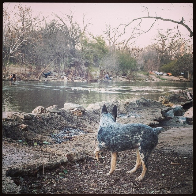 Babys day out :] #blueheeler #dailypuppy–posted by explodingsnowhorse on Instagram