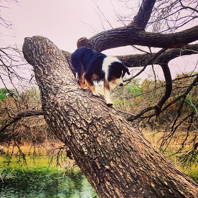 To catch the squirrel, you must think like the squirrel. To think like the squirrel, you must become the squirrel #thenakeddog #austin #hiking #boarding #training #atx #dogsofaustin #dogsofinstagram–posted by thenakeddog on Instagram