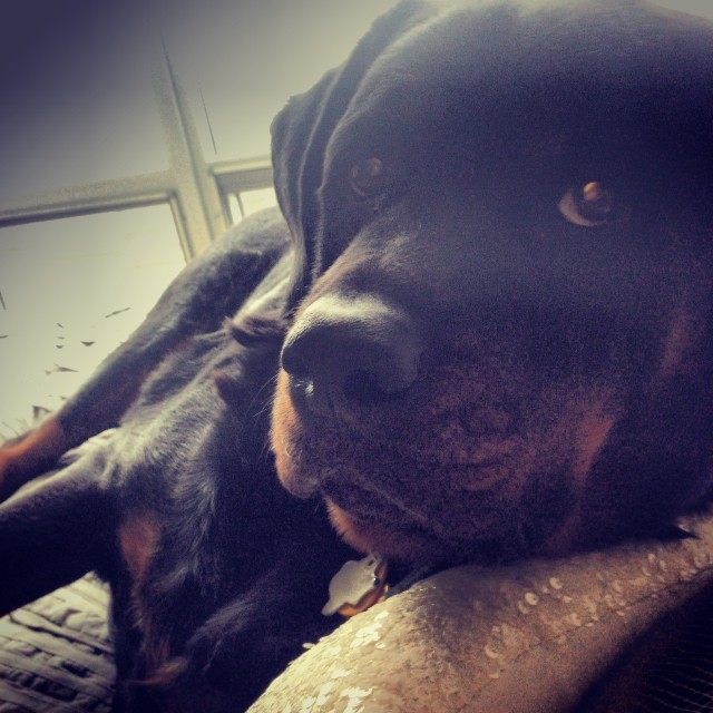 Cuddle bear, Gunner. #dogsofig @jasonuson–posted by carlyuson on Instagram
