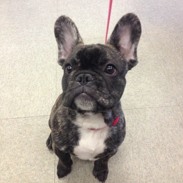 #littlenugget #frenchie #thegoodlife #work–posted by pawticular on Instagram