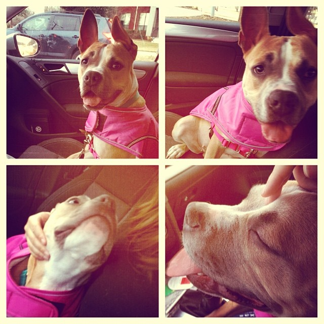 Shasta. A dog so adorable she turns getting stuck behind a bus in traffic into cuddle time. If you need someone to keep you warm with all this winter we've been having, she is thrilled to oblige!! #shasta #adoptable #dog #austinanimalcenter #dogsoutloud #staffie #bostonterrier #adorable #cuddly #smoochable #shelterdog #atx #atxdogs #dogsofinstagram #upforadoption #wigglygirl–posted by dogsoutloud on Instagram