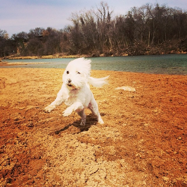 Daisy on the beach #thenakeddog #austin #hiking #boarding #training #atx #dogsofaustin #dogsofinstagram–posted by thenakeddog on Instagram