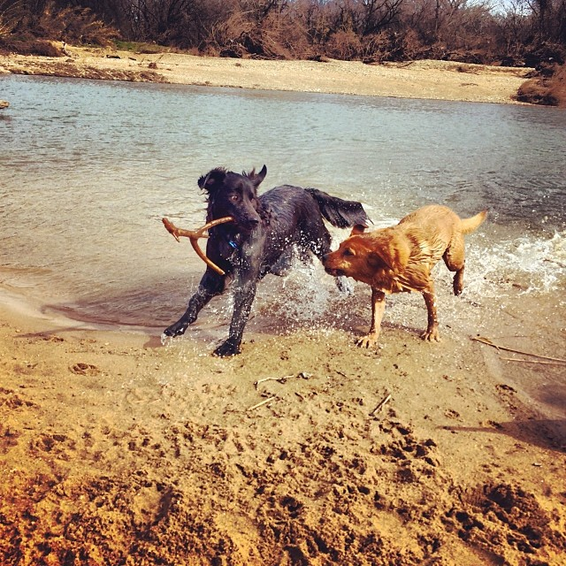 Stick! #thenakeddog #austin #hiking #boarding #training #atx #dogsofaustin #dogsofinstagram–posted by thenakeddog on Instagram