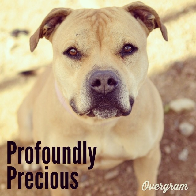 Precious is SO appropriately named. With a super-smoochable face and an endearingly-attentive personality, this #dollface is impossible to resist. Come kiss her at TLAC (1156 Cesar Chavez in #ATX) 👄 #Overgram #instagood #piglet #cuddlers #picoftheday #instadaily #instagramhub #adorable #fawn #instahub #pitties #2cute2handle #igdaily #staffies #loveme #socute #mutts–posted by hardluckhoundsaustin on Instagram