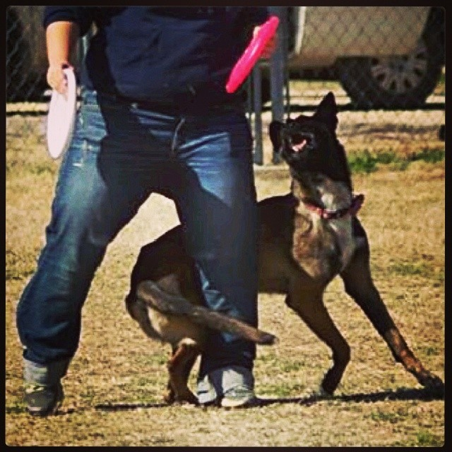 #maligator #malinois #frisbee #dogtraining #discdog #atxk9 #austin #throwitmom–posted by atx_k9 on Instagram