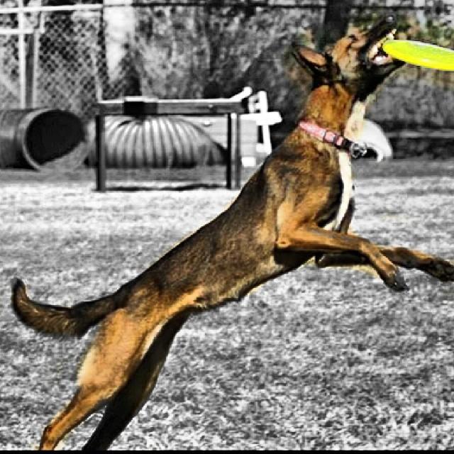#discdog #malinois #maligator #austin #atxk9 #k9 #reachforthestars #frisbee–posted by atx_k9 on Instagram