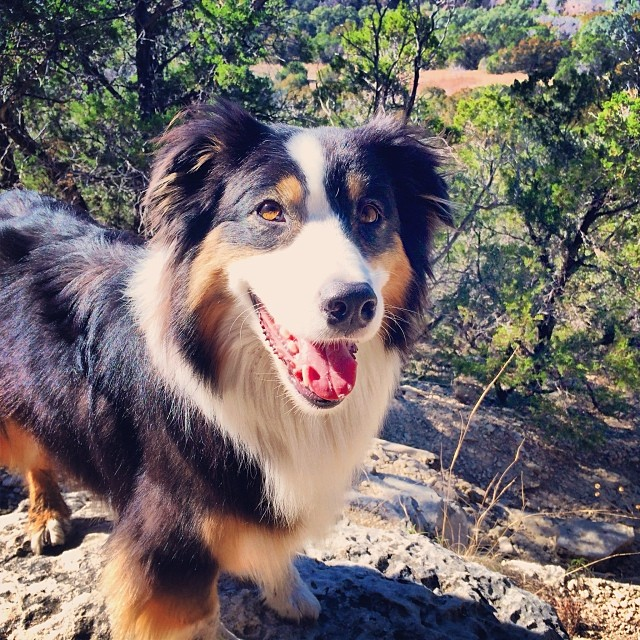 Queen of all she sees #thenakeddog #austin #hiking #boarding #training #atx #dogsofaustin #dogsofinstagram #australianshepherd #aussie–posted by thenakeddog on Instagram