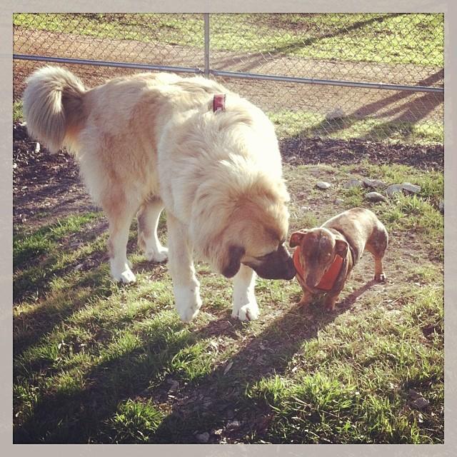 Reesie making friends with this big dog today. #dogsinaustin #dogsofinstagram #dachshund–posted by karensinaustin on Instagram