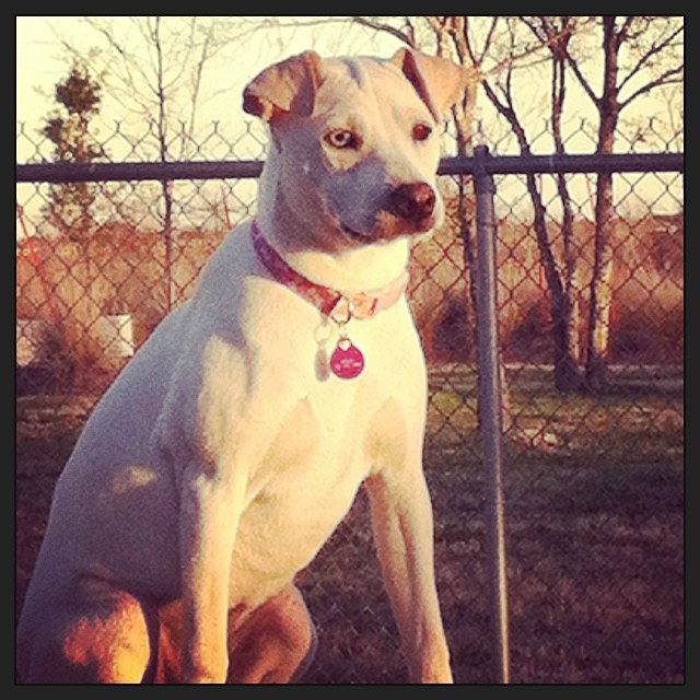 Neelu #dogsinaustin #rescuedogs #sharpeimix–posted by karensinaustin on Instagram