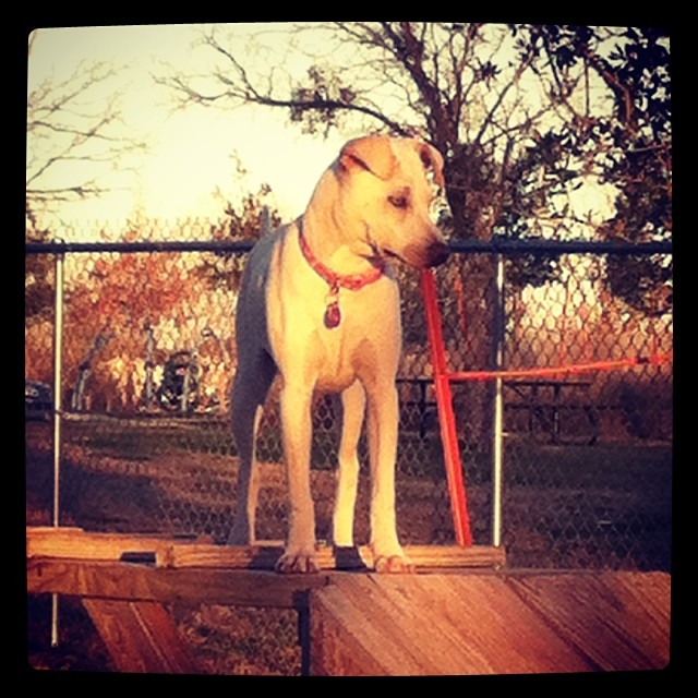 Neelu on the agility equipment at Stoney Creek Dog Park. #rescuedogs #sharpeimix #dogsinaustin–posted by karensinaustin on Instagram