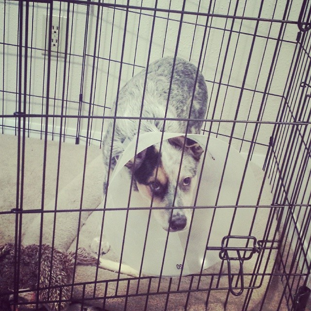 June does not like the cone. Shes been standing like this for about 15 mins now. #blueheeler #dailypuppy–posted by explodingsnowhorse on Instagram