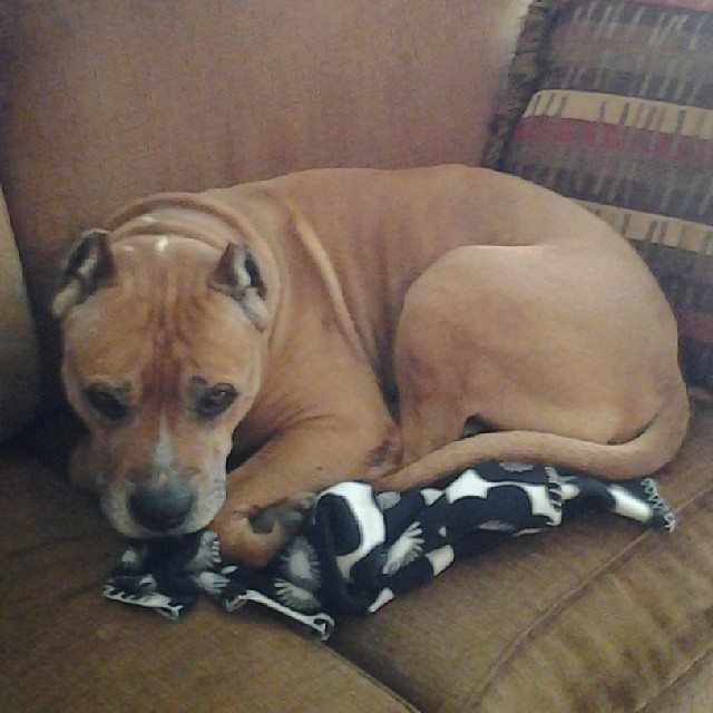Dino Dan - #upforadoption #atx #austin #saveashelterdog #savealife   #loveabullatx #bulllylove    Town Lake Animal Center  1156 W. Cesar Xhavez  #ATX–posted by luv_for_pitbulls on Instagram