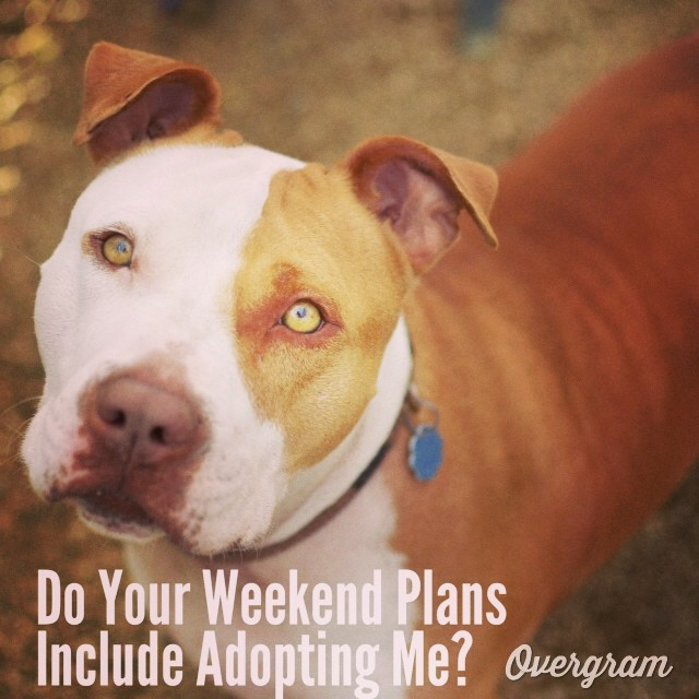 Tessie wants to make your #weekend terrific - if you #adopt her, it will be! After 222 days at #AustinAnimalCenter, she's ready for a family of her own👪🐶 #Overgram #instagood #photooftheday #igers #atxevents #pittiesrule #instagramhub #adoptdontshop #adoptme #petphotography #muttsofig #bestoftheday #tlac #muttmemes #instagramers #shoutout #fslc–posted by skylinepetcare on Instagram