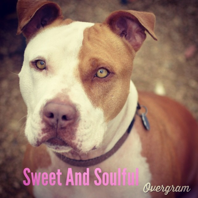 #Photogenic Tessie's sweet, #soulful spirit shines in pictures and real life. Meet this #cutie at #TLAC (1156 Cesar Chavez in #ATX). She's been at the shelter 222 days and is ready for a real home 🏡❤️ #Overgram #instagood #austinanimalcenter #atx #picoftheday #atxmutts #flopdontcrop #pitties #terriers #instahub #staffies #mutts #bestoftheday #igdaily #dogs #instagramers #shoutout –posted by hardluckhoundsaustin on Instagram