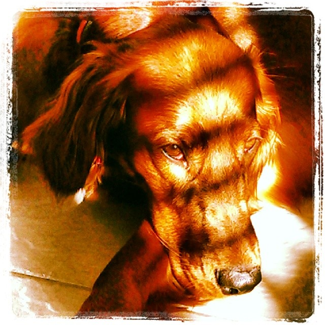 Beautiful Irish Setter catching the sunlight at doggie's holiday home, perfect place for a @dogvacay boarding in Austin, TX. http://ift.tt/1cCF6d9 http://ift.tt/1cCF6dd #irishsetter #doggiesholidayhome #dogboarding #doglover #dogsitting #austintx #Austin #austindog–posted by audreydogs on Instagram